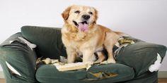 Aprende aquí cuáles son los problemas de ansiedad por separación en perros y conoce cómo eliminar esos comportamientos en tu mascota. Clic Aquí>>> http://sobreperrosygatos.com/problemas-de-ansiedad-por-separacion/
