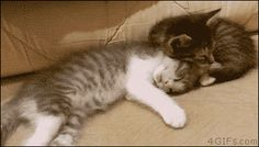 funny gifs, funniest gifs of the week, sleeping cat folded over