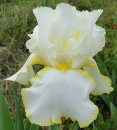 Comanche Acres Iris Gardens - Gower, MO - Lemon Duet-Reblooming Tall Bearded Iris