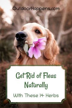 We'll look into plants that repel fleas AND are safe for pets! Plus, they'll smell great in your garden. We'll also include a couple of ways to repel fleas that are not plants – diatomaceous earth and electronic flea combs.For those of us who enjoy bringing our pets with us when we go outside, fleas can be a big concern. #fleas #dogs #farmanimals #homesteading #outdoorhappens #herbalremedies #herbs Facebook Dog, Farm Dogs, Group Of Dogs, Raining Cats And Dogs, Backyard Farming, Pet Safe, Medicinal Herbs, Go Outside, Dog Care