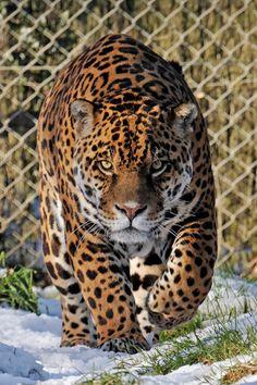 Jaguar 01 by LydiardWildlife.deviantart.com