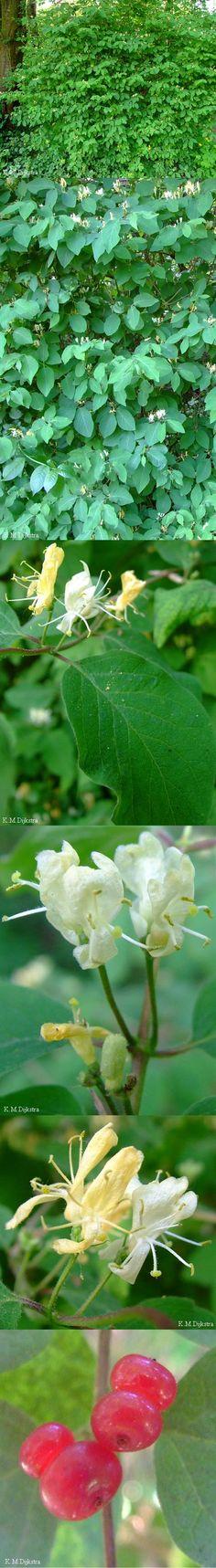 Lonicera xylosteum - Ükörkelonc