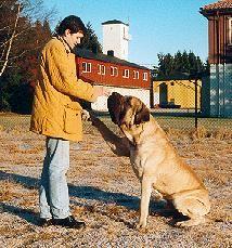 Train your Mastiff @ericalynn1121