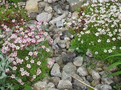 Kivikkoryhmässä kukkii patjarikko