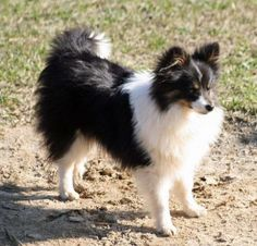 poshies....I want this exact dog.  I'm in love