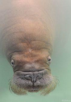 :) Walrus
