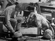 """Paul Newmangives food to an Irish wolfhound on the set of """"Sometimes a Great Notion""""(1970)."""