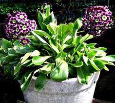"Primula  pubescens 'Exhibition Blue' ""Garden Auricula"""
