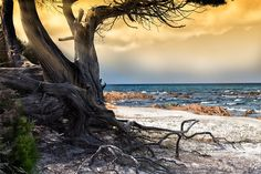 The old tree and the sea by Marco Carmassi on 500px