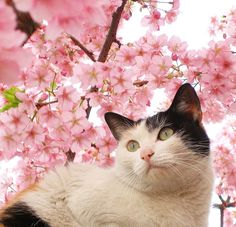 Japanese cat with Cherry Blossoms.