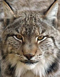 How to draw blood from a wild lynx I Love Cats, Big Cats, Cool Cats, Beautiful Cats, Animals Beautiful, Iberian Lynx, Animals And Pets, Cute Animals, Animal Gato