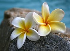 My all time favorite flower! It reminds me of home where we had 4-5 different plumeria trees which we used to make leis for friends arriving and leaving the islands.
