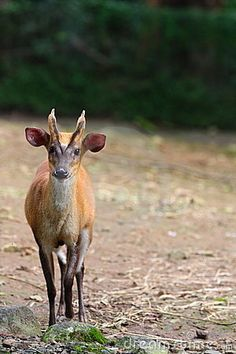Indian Muntjac (photo by Iorboaz via dreamstime.com): The Muntjac or barking deer is the oldest known deer dating to 15 -35 million years ago and has a bark similar to that of a dog. It grows to the height of 5-75 cm and is characterized by two raised ridges from the forehead that extend to the antlers. the Indian Muntjac (Muntiacus muntjak)  is the mammal with the lowest recorded number of chromosomes. The male has a diploid number of 7, the female has 6. In contrast other muntjac, such as…