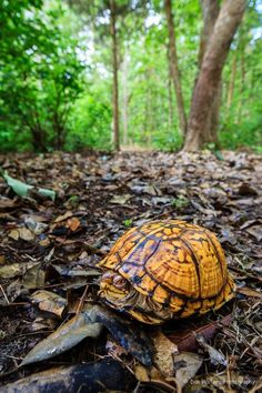 Eastern Box Turtle..... #Relax more with healing sounds: