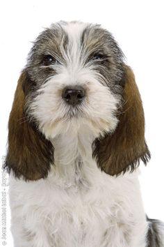 The best Petit basset griffon vendeen ideas on . Basset Hound, Basset Puppies, Beagle, Dogs And Puppies, Doggies, I Love Dogs, Cute Dogs, Basset Artesien Normand, Griffon Nivernais