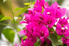 Pinky  Bougainvillea (/ˌbuːɡᵻnˈvɪliə/ or /ˌboʊɡᵻnˈvɪliə/) is a genus of thorny ornamental vines, bushes, and trees with flower-like spring leaves near its flowers  http://photo1.romeodonca.com/pinky/