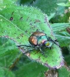 Japanese Beetles can wreak havoc on plants. Here is a simple, all natural Japanese Beetle spray recipe to repel them from your garden and landscape Slugs In Garden, Garden Bugs, Garden Pests, Garden Fertilizers, Plant Pests, Garden Insects, Planting Onions, Natural Bug Spray, Gardens