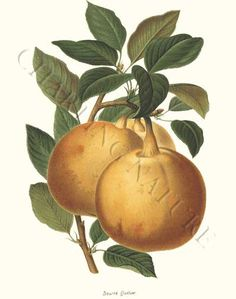 'Beurre Quetier' giclee print via Charting Nature. High quality restored antique prints.