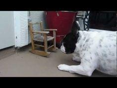 French Bulldog Lily afraid of teeny rocking chair