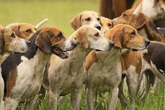The American Foxhound is a dog breed that is a cousin of the English Foxhound. They are scent hounds, bred to hunt foxes by scent. American Foxhound, English Foxhound, Dog Breeds List, Best Dog Breeds, Most Cutest Dog, Yellow Lab Puppies, Scary Dogs, Raining Cats And Dogs, The Fox And The Hound