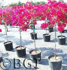Tips On Bougainvillea Care In Pots