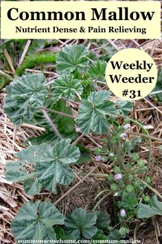 Common mallow is a nutritional powerhouse that can be eaten in many different ways, plus it has a long history of medicinal use and contains salicylic acid for pain relief. Healing Herbs, Natural Healing, Natural Oil, Natural Beauty, Medicinal Weeds, Edible Wild Plants, Wild Edibles, Natural Medicine, Medicinal Plants