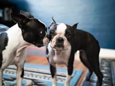 """133 Likes, 11 Comments - Boston Terriers Maggie + Orbit (@maggielovesorbit) on Instagram: """"Got a secret. Can you keep it?  #onlybffscandothis #thestoryofus . Who used to journal when they…"""""""