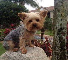 Image result for full grown yorkie