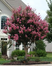 70 best deciduous and flowering trees and shrubs images on pinterest pink velour crape myrtle mightylinksfo