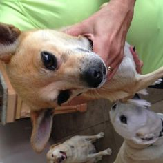 ID#1264846  I am a female Chihuahua - Smooth Coated.  My finder says I am over 1 year old. I have the following characteristics: A female chihuahua mix. 3+ years. Pink plaid collar. Very quiet and scared.  Someone found me on June 25. I was found at Tenaya & Peace way.
