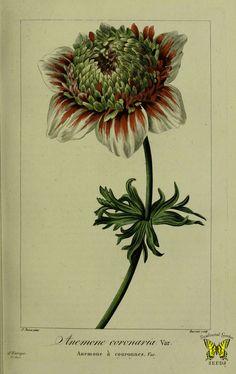 Poppy anemone. Anemone coronaria var. hort. Illustration by P. Bessa, (1817-1827).