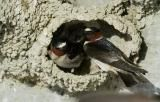 Shorter-winged swallows evolve around highways   Life   Science News