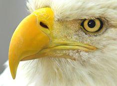 Closeup image of a bald eagle.   Available at IncrediblePhotoArt.com