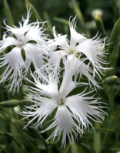 Dianthus arenarius -- we grow these in our garden, & I love the smell of these flowers!