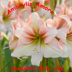 "Amarylis "" Amore"" Bulbs  - FREE SHIPPING! -  Naked Lady - Bulbs by SeedsRUs on Etsy"