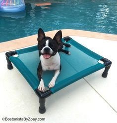https://www.facebook.com/BostonistaByZoey/photos/pcb.782731908455237/782731858455242/?type=1 This photo courtesy of Boston Terrier Rescue of Florida, Inc.