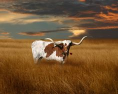 This Longhorn needs a yellow rose