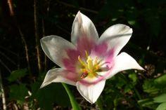 Olen Ballade, tulppaani | Vesan viherpiperryskuvat – puutarha kukkii