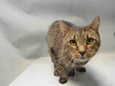 Safe 6/11*******TO BE DESTROYED 06/10/16*** DOLPHIN IS A 2 YEAR OLD WHO NEEDS A FOSTER OR ADOPTER... OR HE WILL DIE! DON'T LIKE THE HONESTY?? THEN DO SOMETHING!!! This poor guy has been easy to handle but just doesn't like being put in a carrier! WHAT CAT DOES? He's going to need an EXPERIENCED person with no kids! PLEASE, SAVE THE DOLPHINS! OR AT LEAST THIS DOLPHIN!