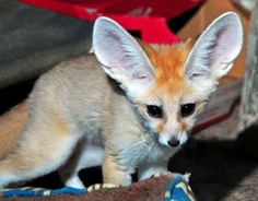 Fennec Fox.........  Milwaukee County Zoo.