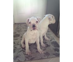 8 week AKC White Boxers is a White Male Boxer in Addison IL