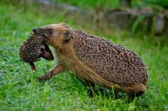 I love hedgehogs. They just run around the yards in England like squirrels do here in the US.