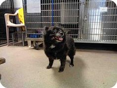 Pictures of A1768260 a Schipperke for adoption in Fort Lauderdale, FL who needs a loving home.