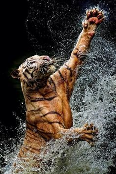 This picture shows how strong and muscular a tiger is and how beautiful this creature can be..