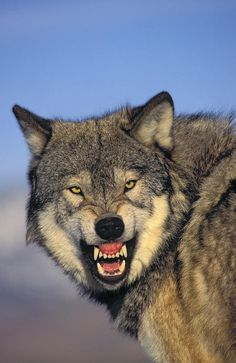 """I truly believe this as I read a book called """"Lone Wolf"""". Please read it to get all the insight into wolves. Wolf Photos, Wolf Pictures, Lone Wolf Quotes, Angry Wolf, Wolf Stuff, Wolf Spirit Animal, Wolf Love, Beautiful Wolves, Warrior Quotes"""