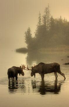 Moose, Isle Royale National Park, Michigan; photo by .Carl TerHaar Beautiful Creatures, Animals Beautiful, Beautiful Wall, Animals And Pets, Cute Animals, Wild Animals, Autumn Animals, Baby Animals, Antlers