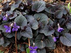 Buy Viola labradorica 'Purpurea' - Labrador Violet - 10 Count Flat ...