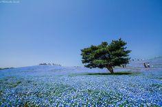 4.5 Million Baby Blue Eyes Just Bloomed In Japan's Hitachi Seaside Park And I Shot Them   Bored Panda