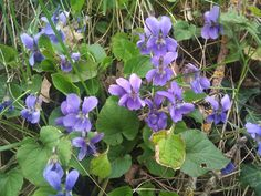 Violettes Bramble, Plantation, Permaculture, Pansies, Herbs, Gardening, Health, Fitness, Garden