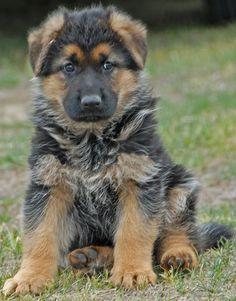 Cute German Shepherd Puppy.